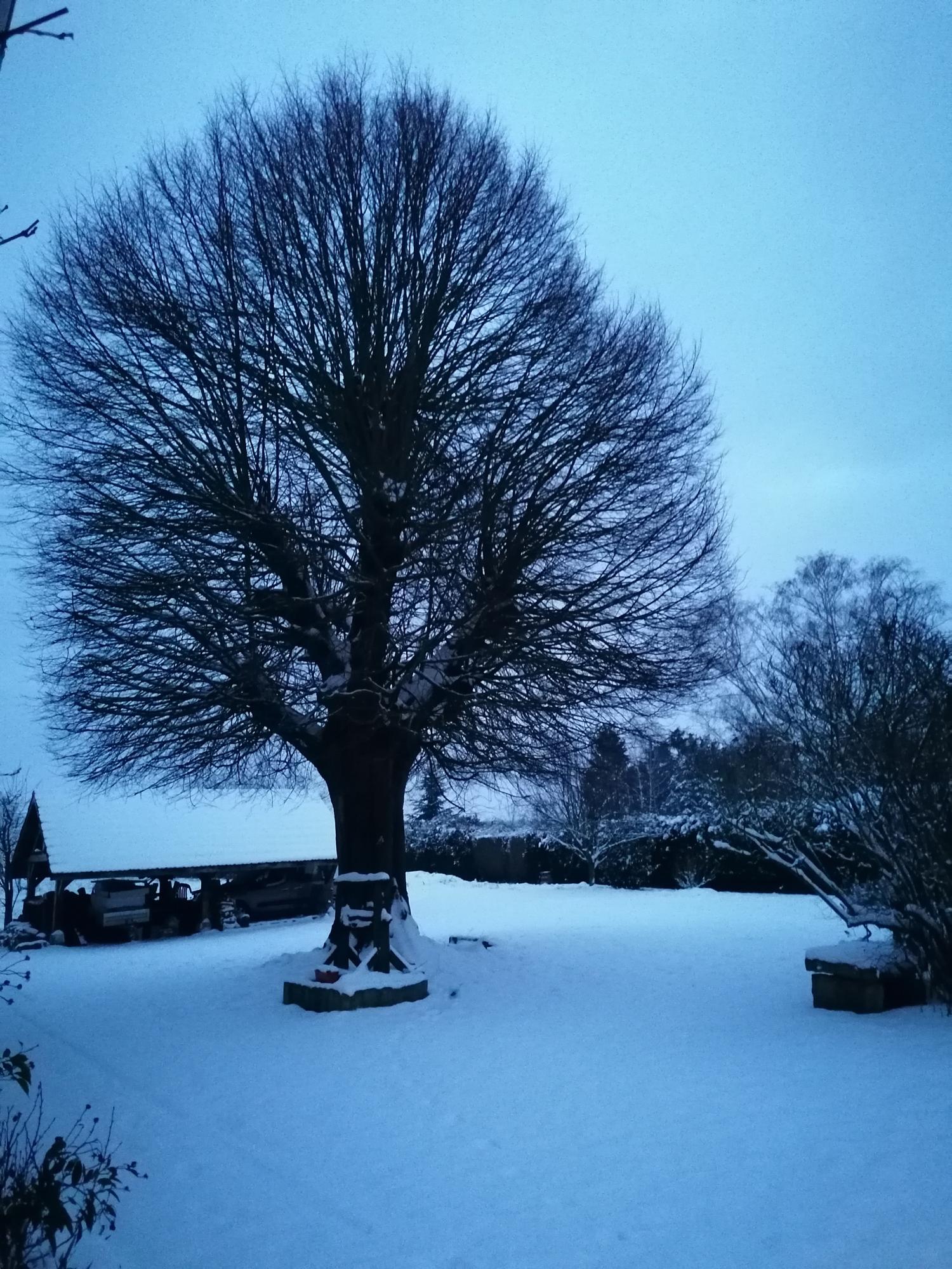 Le tilleuil de l'Aristophane en hiver