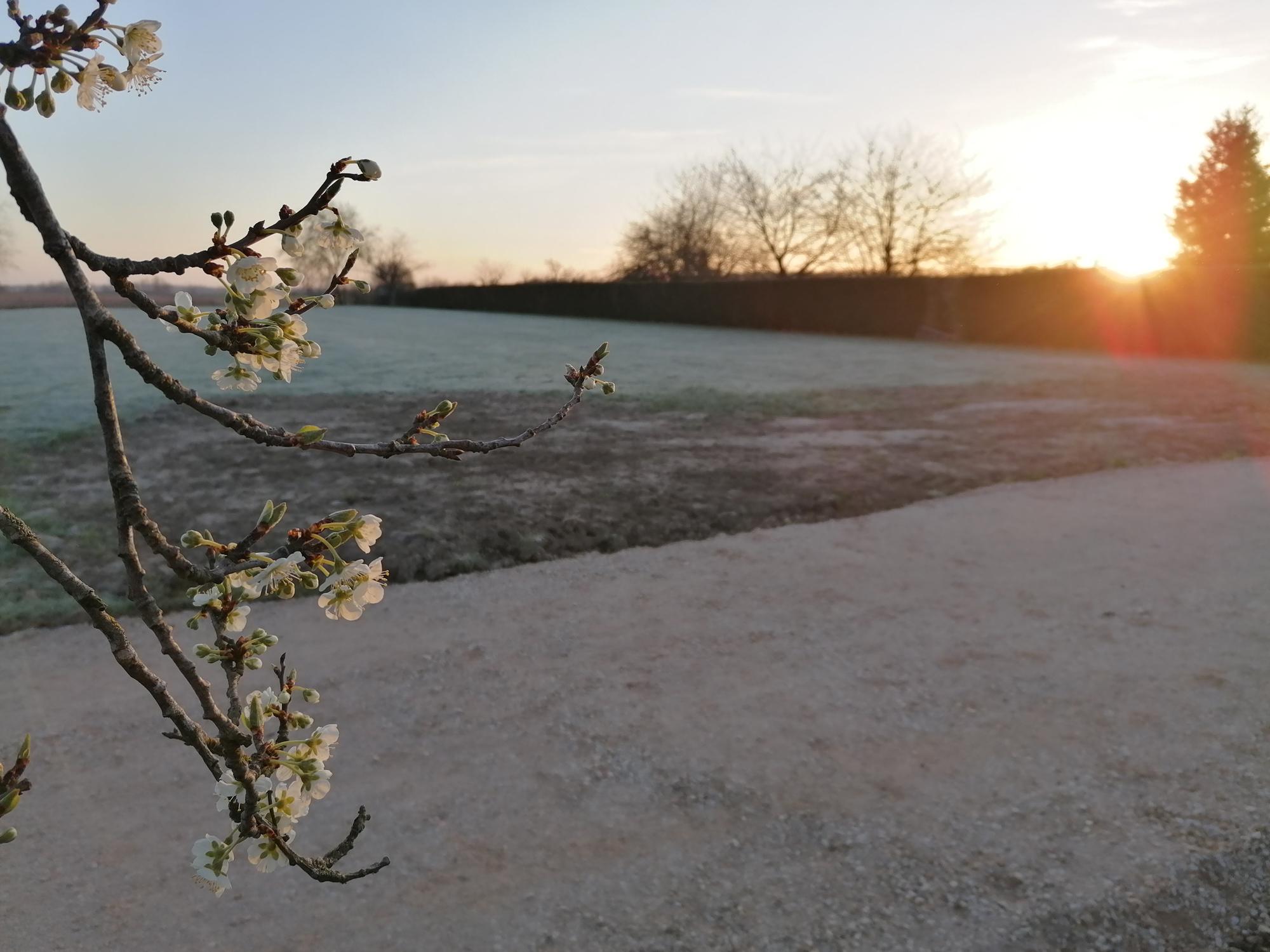 Vue depuis le prunier en fleur au printemps